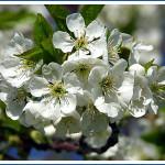 cherryblossoms-150x150.jpg