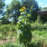 sunflower-e1310413773624-150x150.jpg